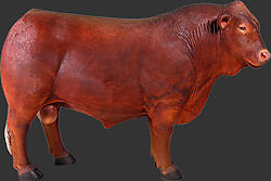 Angus Bull Life Size Statue Brown Finish