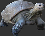 Life Size Galapagos Turtle 5FT