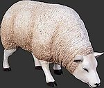 White Texel Sheep - Head Down